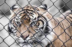 Acostar-se al lleó engabiat: la importància de la ira en la depressió i altres processos psicopatològics